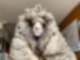 Das wilde Schaf Baarack trug mehr als 35 Kilo schwere Wolle. Foto: Edgar's Mission Farm Sanctuary/AAP/dpa