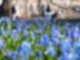 Bei Sonnenschein und Außentemperaturen um die 9 Grad blühen im Botanischen Garten Karlsruhe Blausterne. Foto: Uli Deck/dpa
