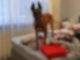Ein Suchhund der Polizei steht in einer Wohnung auf einem Bett. Sechs mutmaßliche Drogenhändler sind bei einer Razzia in Berlin verhaftet worden. Foto: ---/Polizei Berlin/dpa